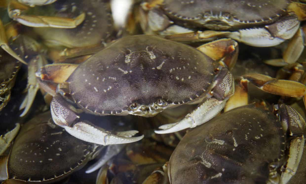 Dungeness crabs fill a tank in San Francisco, California, in December 2019.