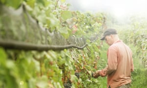 Organic wine grower picking grapes from vine
