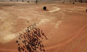 Sheep graze on the dry and dusty field of a failed crop near Parkes, New South Wales,