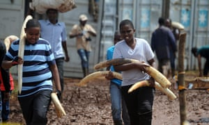 Kenyan school-children volunteer in carrying elephant tusk from storage containers to the burning site in Nairobi National Park on 22 April 2016 ahead of the historic destruction of ivory and rhino-horn from Kenya's stockpiles on 30 April 2016.
