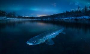 Trout in Northern lights by Audun Rikardsen