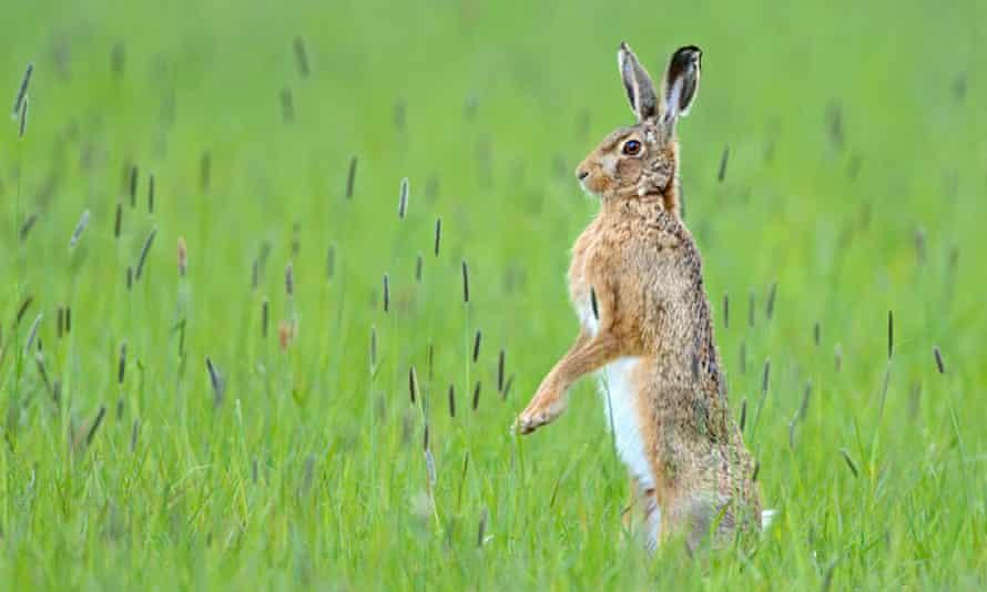 Hare in field