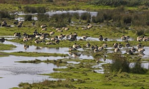 A flock of Canada geese (Branta canadensis) resting by freshwater pools