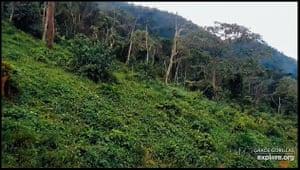 The Democratic Republic of the Congo, gorilla cam