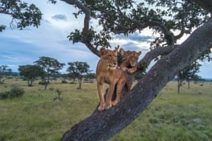 Lionesses Jessica and Julia in a large sycamore fig tree