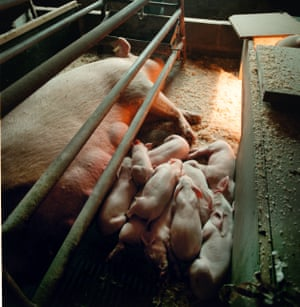 A sow in a farrowing crate on a pig farm in Scotland.