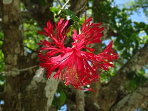 Spectacular red-flowered Hibiscus hareyae, discovered in online search