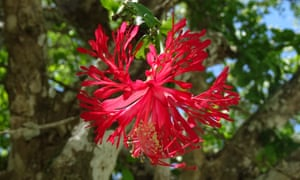 The spectacular Hibiscus hareyae, another of 2020's discoveries.