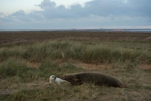 A seal cow and her newly born pup rest on the sand dunes of the Lincolnshire Wildlife Trust's Donna Nook nature reserve near Grimsby, northeast England