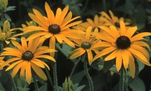 Prairie flowers: Rudbeckia fulgida.