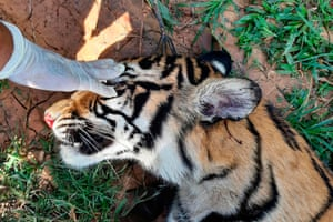 Conservation agency official examines dead tiger