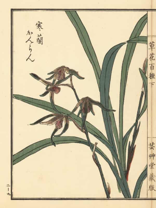 Kanran orchid, Cymbidium kanran Makino. Handcoloured woodblock print by Kōno Bairei from Kusa Bana Hyakushu (One Hundred Varieties of Flowers), Tokyo, Yamada, 1901.