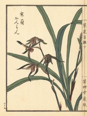 Kanran orchid, Cymbidium kanran Makino. Handcoloured woodblock print by Kono Bairei from Kusa Bana Hyakushu (One Hundred Varieties of Flowers), Tokyo, Yamada, 1901.
