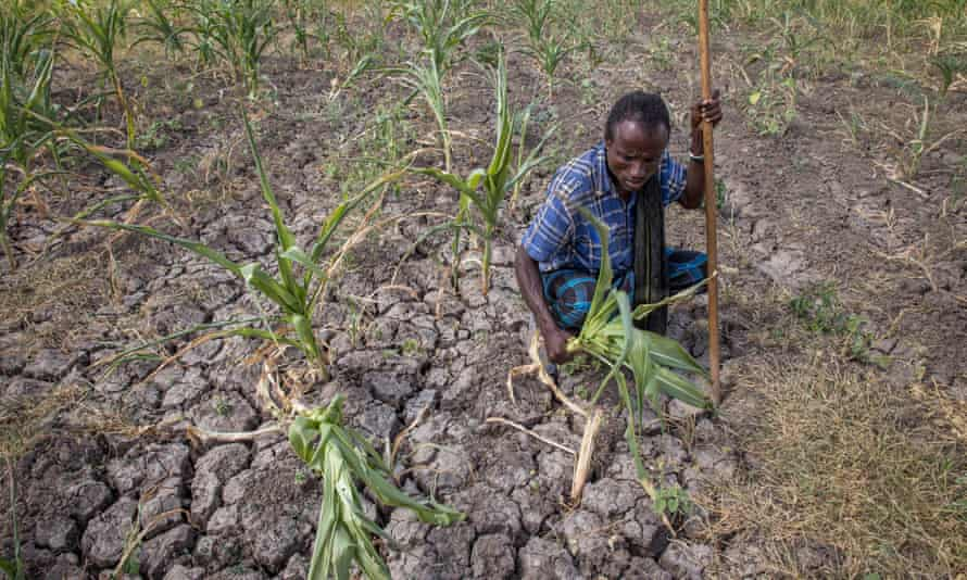 A farmer shows his failed crops on his parched farm in Megenta area of Afar, Ethiopia.