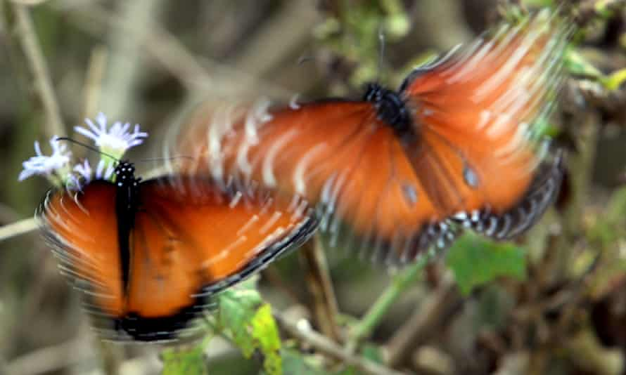Butterflies flutter together as they are seen taking nectar from native plants at National Butterfly Center on 11 December 2018, in Mission, Texas.