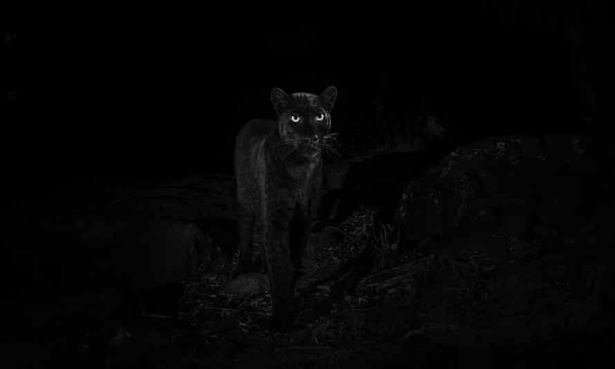 The animal's sooty-coloured fur is caused by melanism, which is like reverse-albinism.