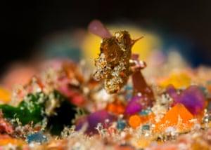 Japanese pygmy seahorse, Hippocampus japapigu