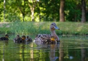 A duck with her ducklings swim in River Svisloch in Minsk, Belarus