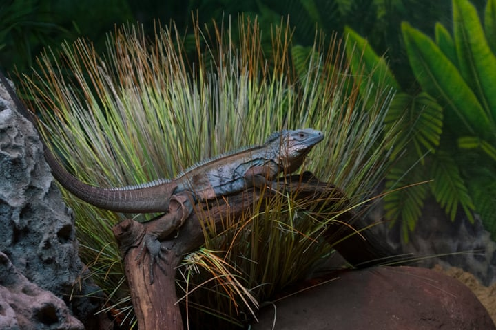 The Bronx Zoo Recently Opened A Blue Iguana C Yclura Lewisi Exhibit In Reptile House This Is Critically Endangered Species That Was Once