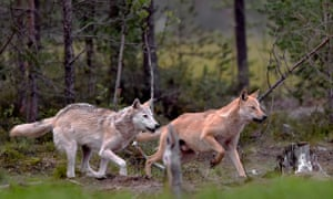There are plans to reintroduce wolves in Sutherland; not all landowners welcome the move.