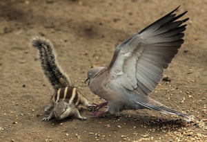 A dove chases away a chipmunk in Amritsar, India.