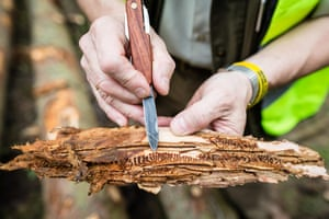 A forest manager at the Hajnowka Forest District in Poland shows the effect of a bark beetle infestation.
