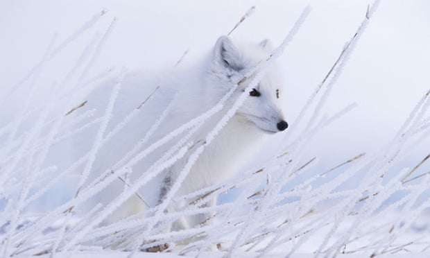 An Arctic fox blends into its environment in Nunavut, Canada. Photograph: Paul Nicklen/National Geographic/Getty Images