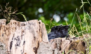 Two young crows in the stump of a beech tree