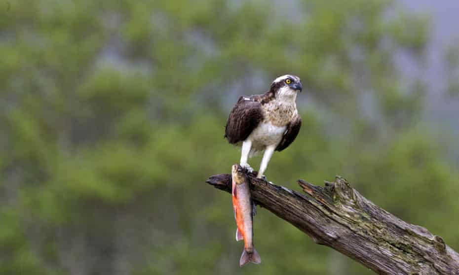 An osprey with a trout.