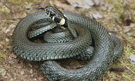 A common grass snake.