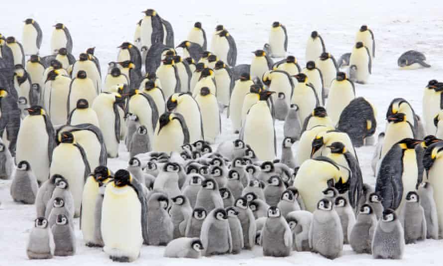 Emperor penguin colony in a snow storm, Snow Hill Island, Weddell Sea, Antarctica.