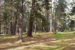 Scots pine wood in Allendale