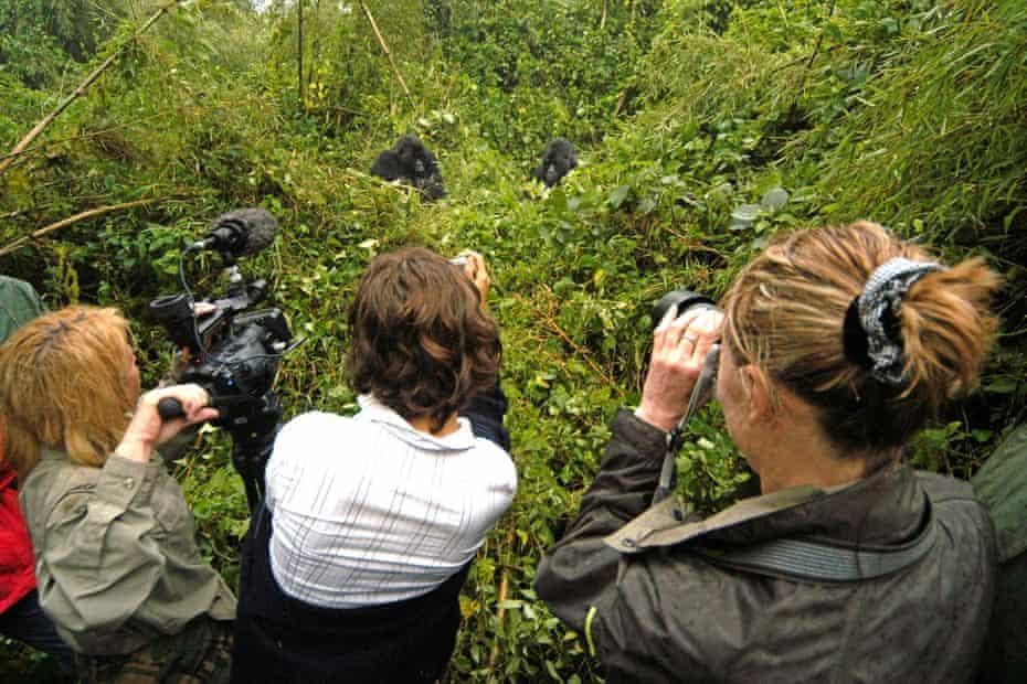 Tourist film mountain gorillas in the Volcanos National Park in Rwanda, 2005.