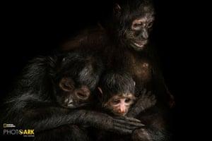 Robustus black spider monkeys