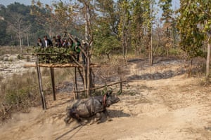 Five rhinos will be translocated in 2016 to contribute to the overall target of translocating 30 rhinos from Chitwan national park by the end of 2018.