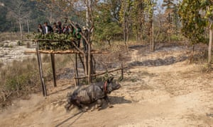 A greater one-horned rhino is moved to a new home in Bardia national park