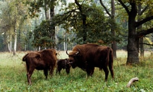 European bisons in Białowieża national parkPOLAND