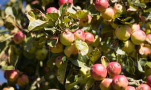 Pick of the bunch: cider apples ready to be harvested in Suffolk.
