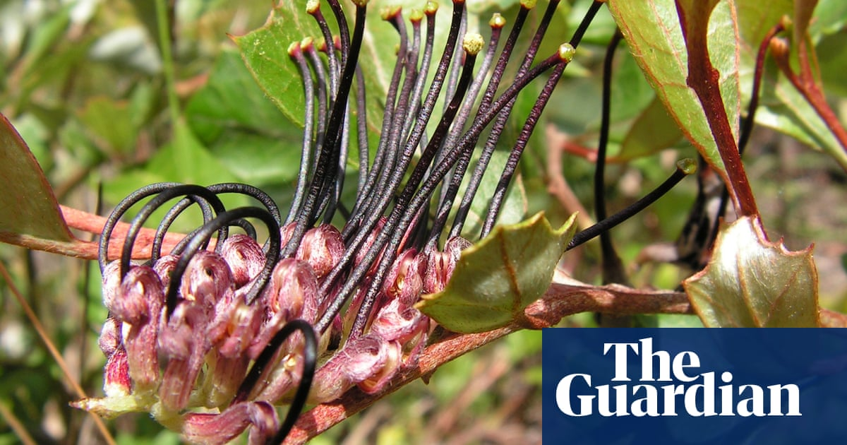Queensland investigates suspected clearing of critically endangered black grevillea - the guardian