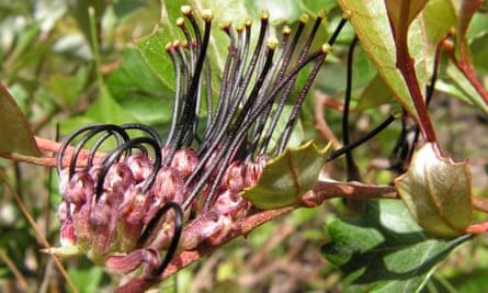 Critically endangered black grevillea
