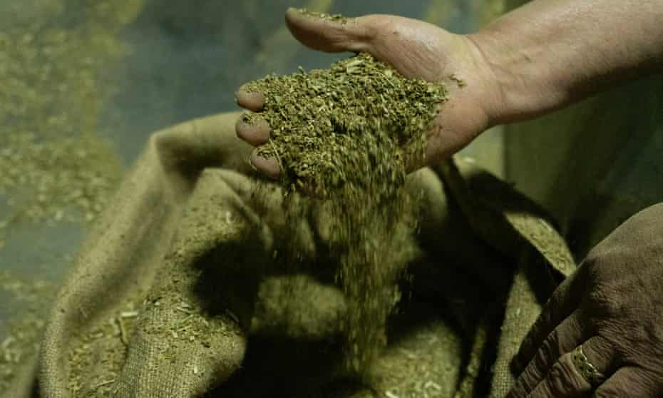 After being aged for two years, the yerba mate is ready to be packaged. This is part of the harvest from 2019.