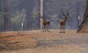 Deer wander in Grizzly Flats after the fire on Tuesday