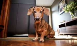 Sausage dog registrations have soared in the past three years.