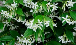 Heavenly scent: Trachelospermum jasminoides, a neat evergreen climber that loves being trained against walls and over arches.