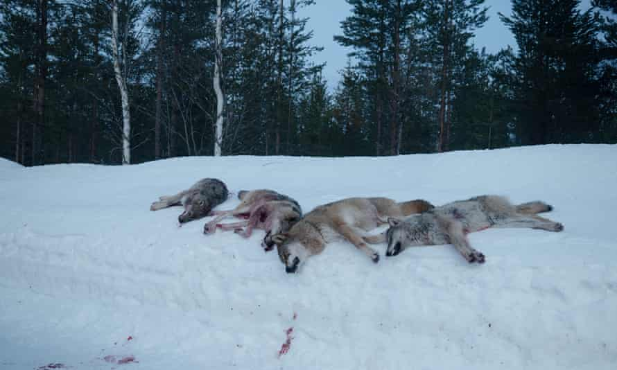The Wolf Dividing Norway: the Hunter versus the Environmentalist