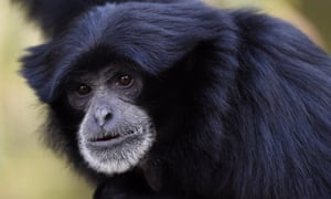 Sampit, Melbourne zoo's female Siamang ape