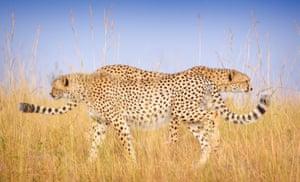 Cheetahs passing