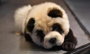 Critics say dyeing the chow chows to resemble panda cubs could damage their skin.
