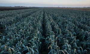 A field of leeks near Chatteris, in East Anglia, England