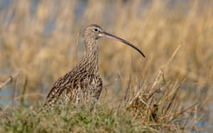 A curlew at RSPB Medmerry, West Sussex, on 5 March.
